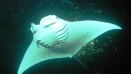 Satellite Technology Reveals Clues to Lives of Mysterious Manta Rays