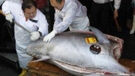 1.7 milion dollarë për një peshk ton të kuq